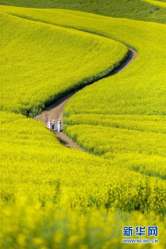 #(空中之眼)(2)新疆伊犁:特克斯县的油菜花海