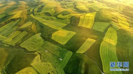 #(空中之眼)(3)新疆伊犁:特克斯县的油菜花海