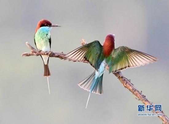 美丽小鸟蓝喉蜂虎现身闽江中下游河谷