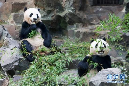 大熊猫过生日享清凉