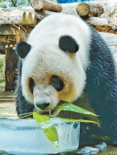 """12日,北京动物园的大熊猫在享用""""冰点心"""".新华社记者 李 欣摄"""
