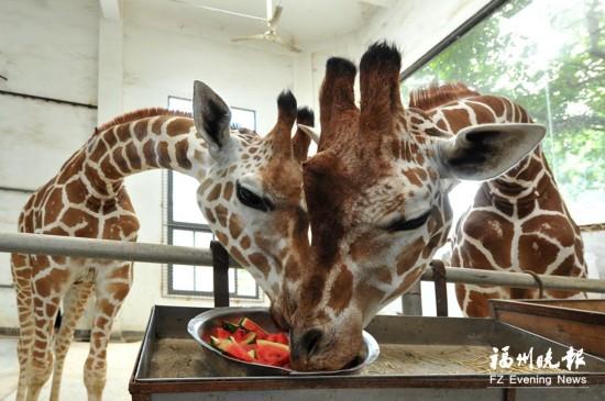 """福州动物园奉上""""高温伙食"""" 让动物""""居民""""度夏"""