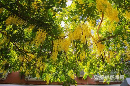 """福州法海路波斯皂荚盛放 一起去看""""黄金雨""""吧"""