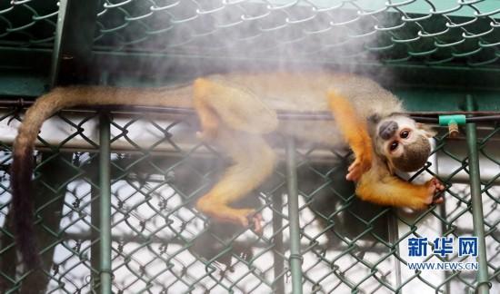7月16日,在福建省泉州市海丝野生动物园,松鼠猴在享受喷雾带来的