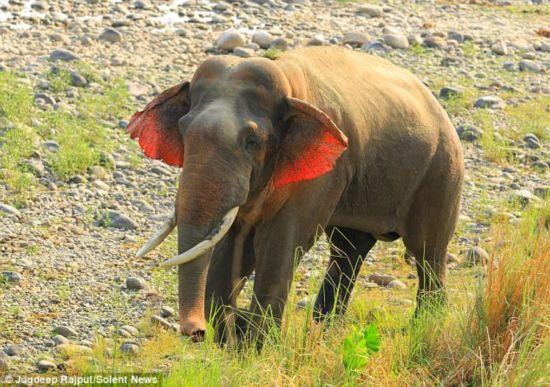 罕见!摄影师拍到印度红耳大象