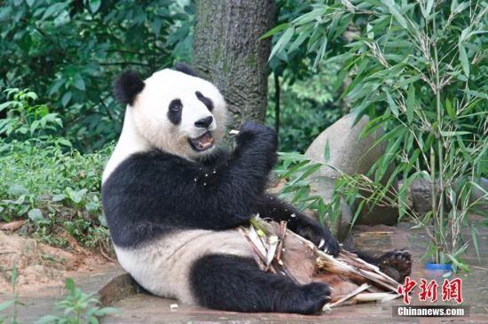 """7月19日,两岸记者四川行联合采访团探访中国大熊猫保护研究中心雅安碧峰峡基地时,大熊猫正在享用美食。据介绍,大陆赠台大熊猫""""团团""""""""圆圆""""赴台前,曾在此基地生活过。<a target='_blank'  data-cke-saved-href='http://www.chinanews.com/' href='http://www.chinanews.com/'><p  align="""