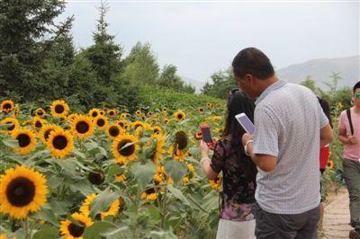 西宁南山公园向日葵花盛开啦