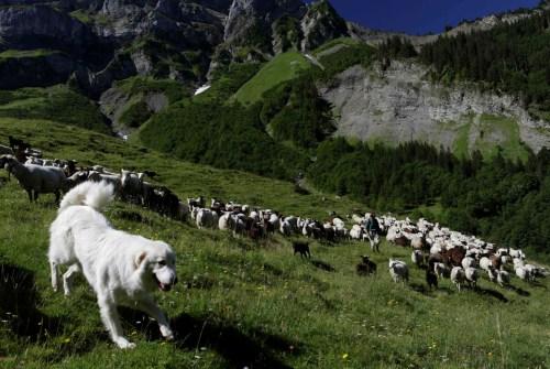 为躲棕熊追逐,庇里牛斯山209只羊集体跳崖(图