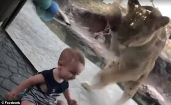 美婴儿狮笼前微笑摆拍 狮子隔玻璃疯狂抓挠