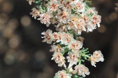 贺兰山保护区发现珍稀植物裸果木