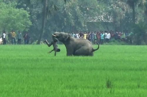 资料图片:孟加拉省一头大象在攻击一名男子。(图片来源:法新社)
