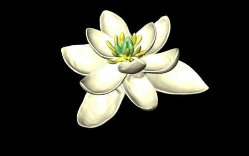 """花朵""""始祖""""长啥样?像白莲花和白百合结合体(图)"""