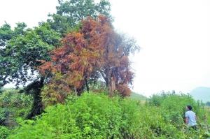 红豆杉能抗癌?有毒