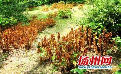 高温扬州不少植物被晒伤 专家:大多数会恢复