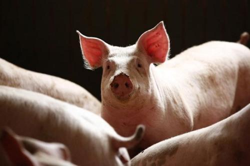 资料图:猪