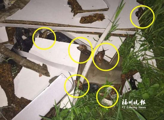 草坪惊现十几只非洲大蜗牛 专家:不触碰不食用