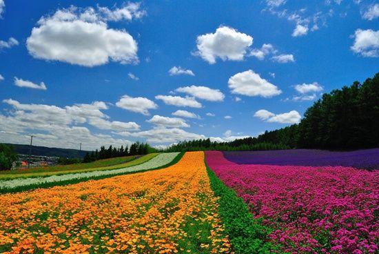 北海道富田农场。HHtravel鸿鹄逸游供图