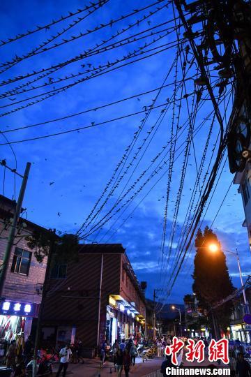 昆明一城中村上万燕子集结场面壮观