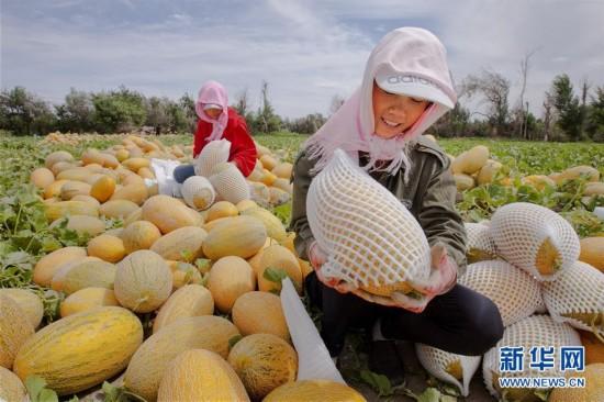 #(经济)(2)新疆哈密:晚熟哈密瓜上市