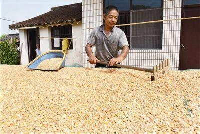 推广新品种 南通海门春玉米产量较往年增多