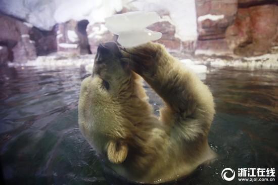 杭州:北极熊吃冰降温