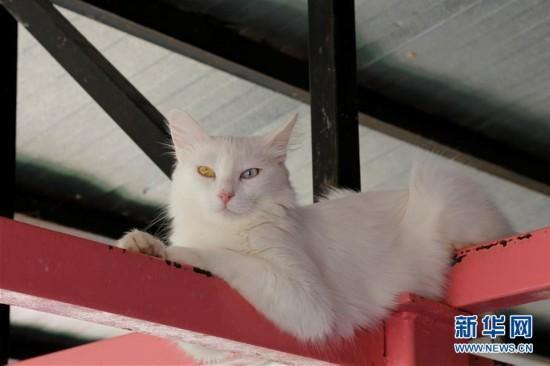 """这种猫两只眼睛不同色 被称为""""国猫"""""""
