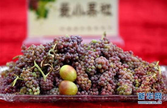 (经济)(4)吐鲁番葡萄节216种葡萄斗艳