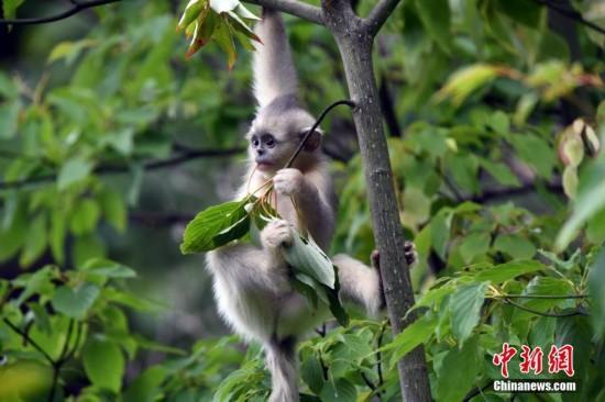 探访香格里拉滇金丝猴国家公园