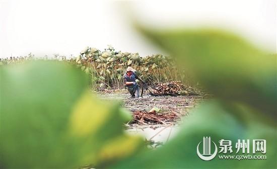石狮蚶江:荷塘藕人 辛勤劳作