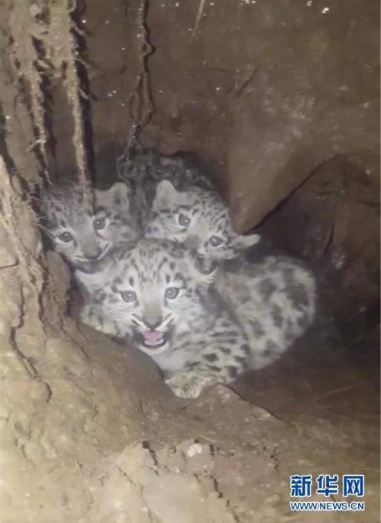 三只雪豹幼崽睁大眼睛望镜头,太萌了