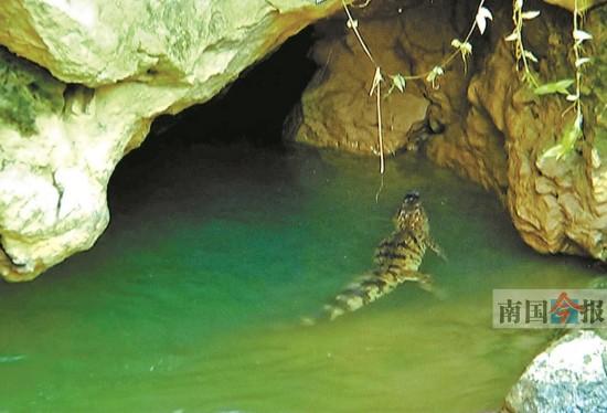 河池:龙江河惊现鳄鱼 相关部门昼夜组织抓捕(图)