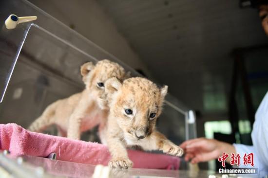 云南野生动物园新添狮子双胞胎