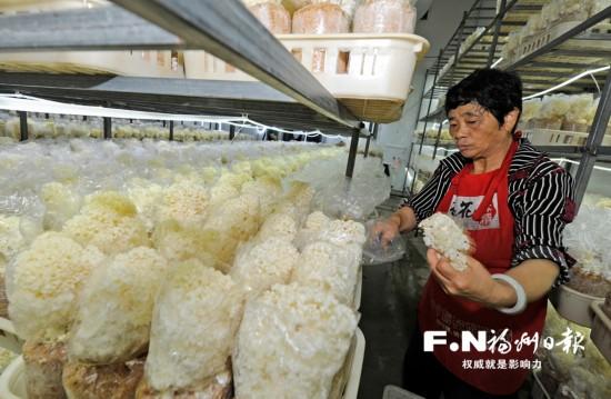 山珍绣球菇在福州实现标准化量产 每日量产5吨
