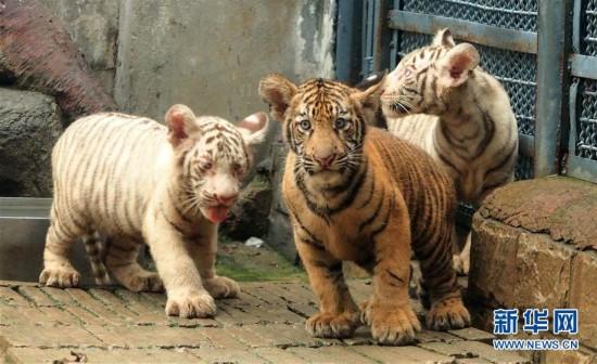 6岁孟加拉虎生下三胞胎