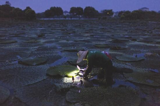 苏州芡农坚守祖业 鸡头米采收剥壳全靠人工