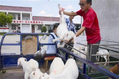 南通海门人大机关送85只扶贫羊给17户贫困群众