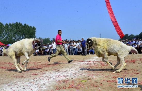 9月12日,在山东阳谷县李台镇四连村,村民们在观看斗羊v村民.作文公园写小学生图片