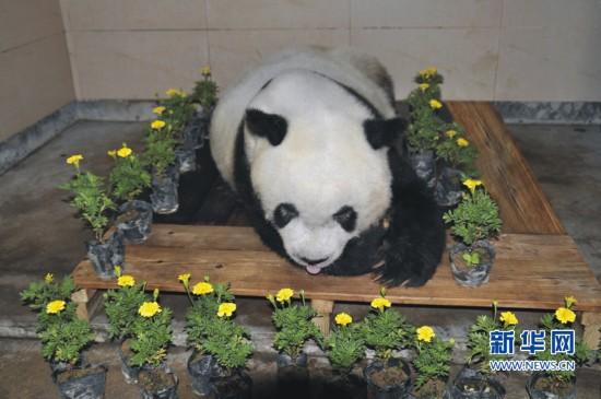 """亚运会吉祥物""""盼盼""""原型 大熊猫""""巴斯""""因病离世"""
