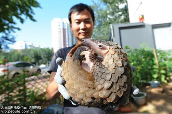 青岛市民解救穿山甲送野生动物救助协会放归自然