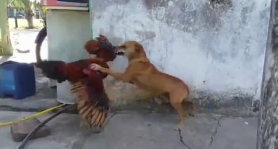 """巴西上演""""鸡狗对决"""" 汪星人惨败场面搞笑"""