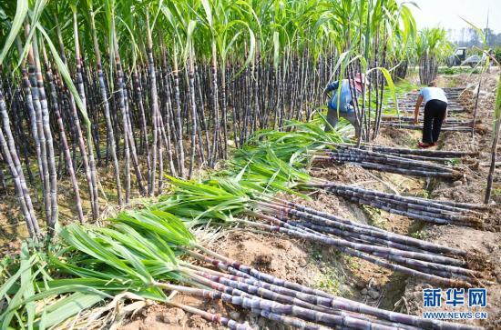 蔗农采收忙 生活节节高