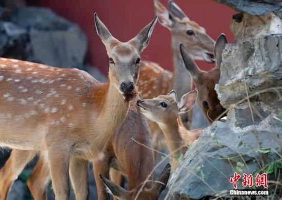 九只梅花鹿亮相北京故宫博物院