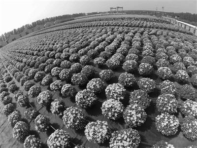 天安门国庆花坛首用变色菊花 观赏效果将大幅提升