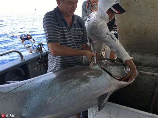 长1.73米重180斤! 海钓爱好者南海钓到创纪录超大金枪鱼!  【4】