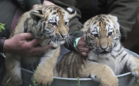 女子动物园跟东北虎自拍 镜头出现这样一幕(图)