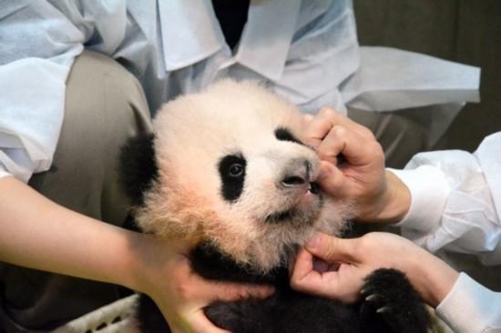 """受到""""香香""""影响 带大熊猫图案企业市值上升"""