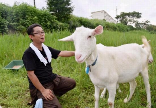 日本公司出租山羊除草 既环保又赚钱(图)
