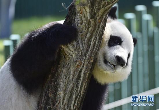 沈阳森林动物园熊猫馆正式开馆