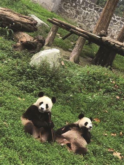 大熊猫来了 三只大熊猫30日上午乘飞机到南京