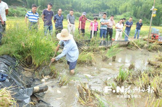罗源试点稻田养鱼获成功 已发展稻田综合种养近千亩